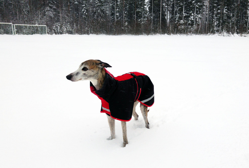 Imaginary Karin - whippet in winter clothes
