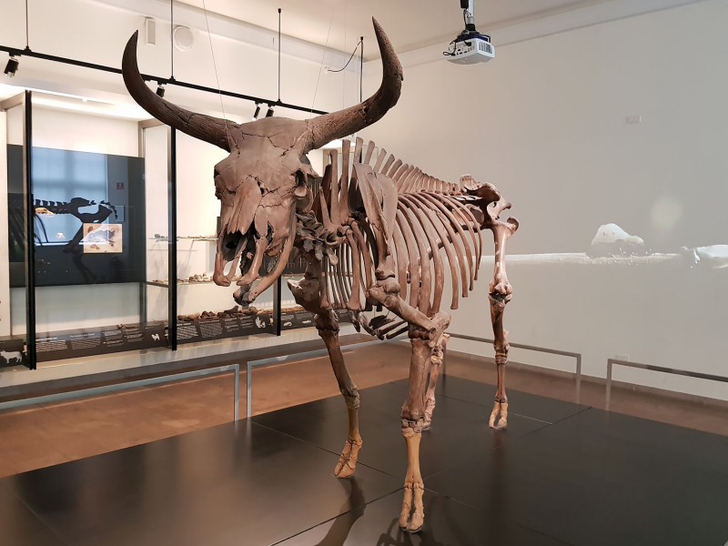 Aurochs skeleton at the National Museum, Copenhagen