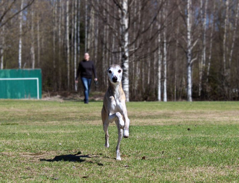 Imaginary Karin - my whippet Zaphod