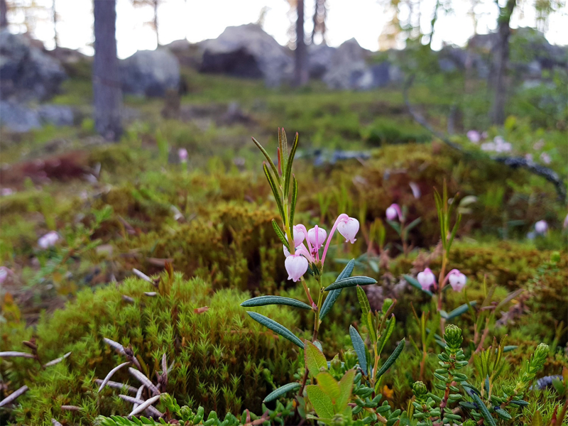 Bog-rosemary (Andromeda polifolia)