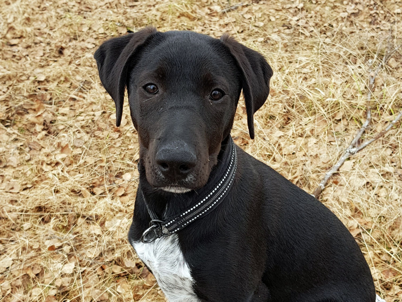 Runa the lab mix