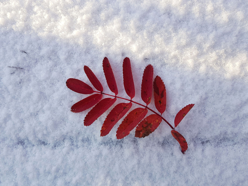 red leaf on white snow