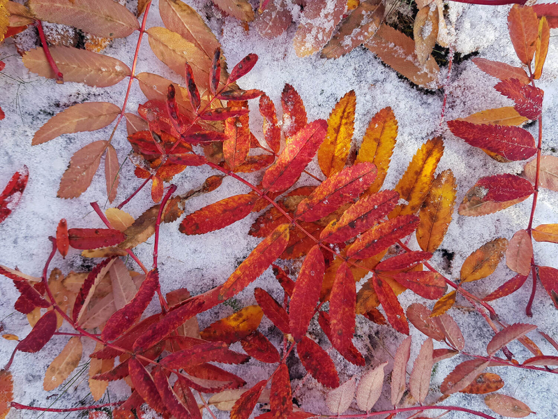 autumn leaves on snow