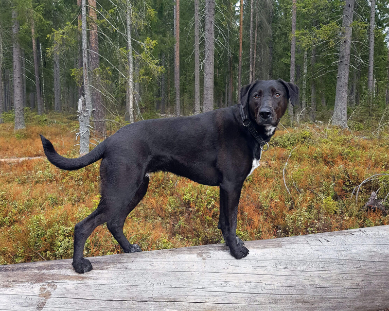 Black dog standing on fallen tree in forest