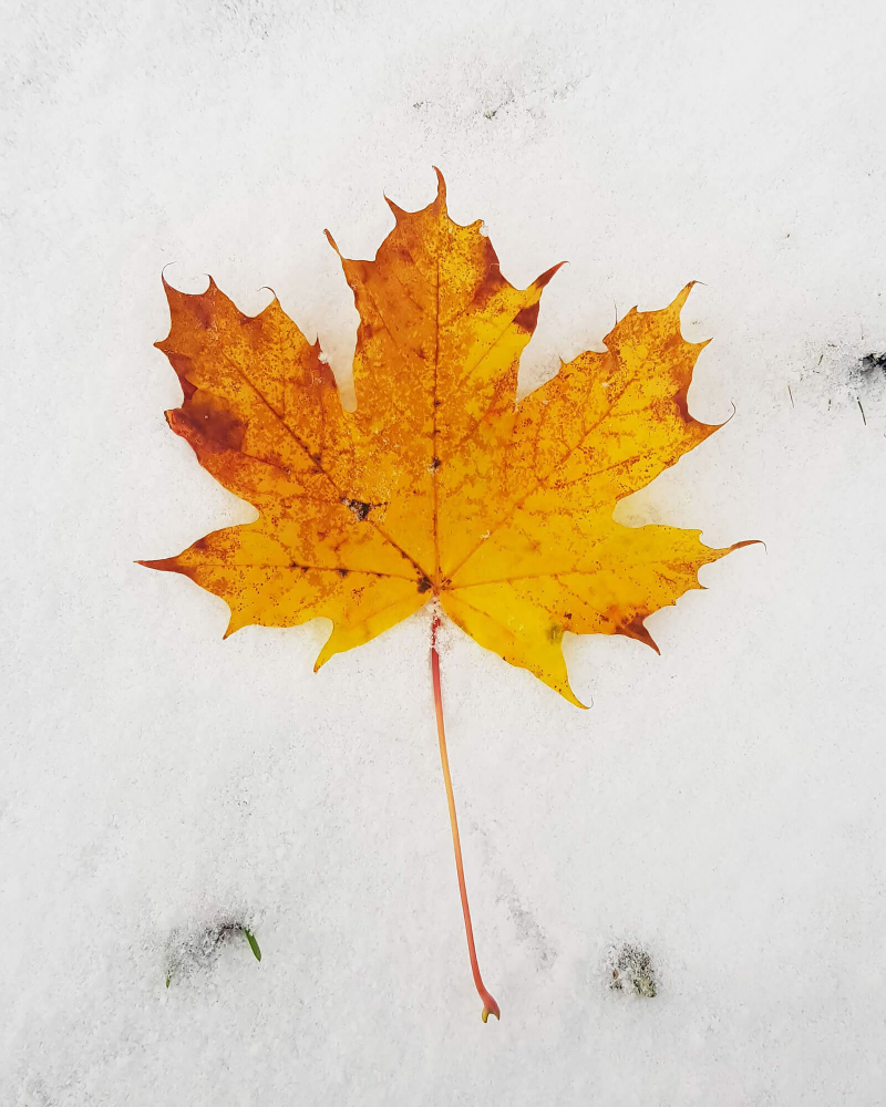 Yellow leaf against snow