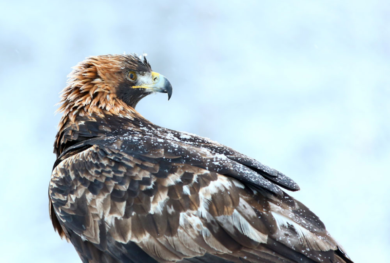Imaginary Karin - golden eagle