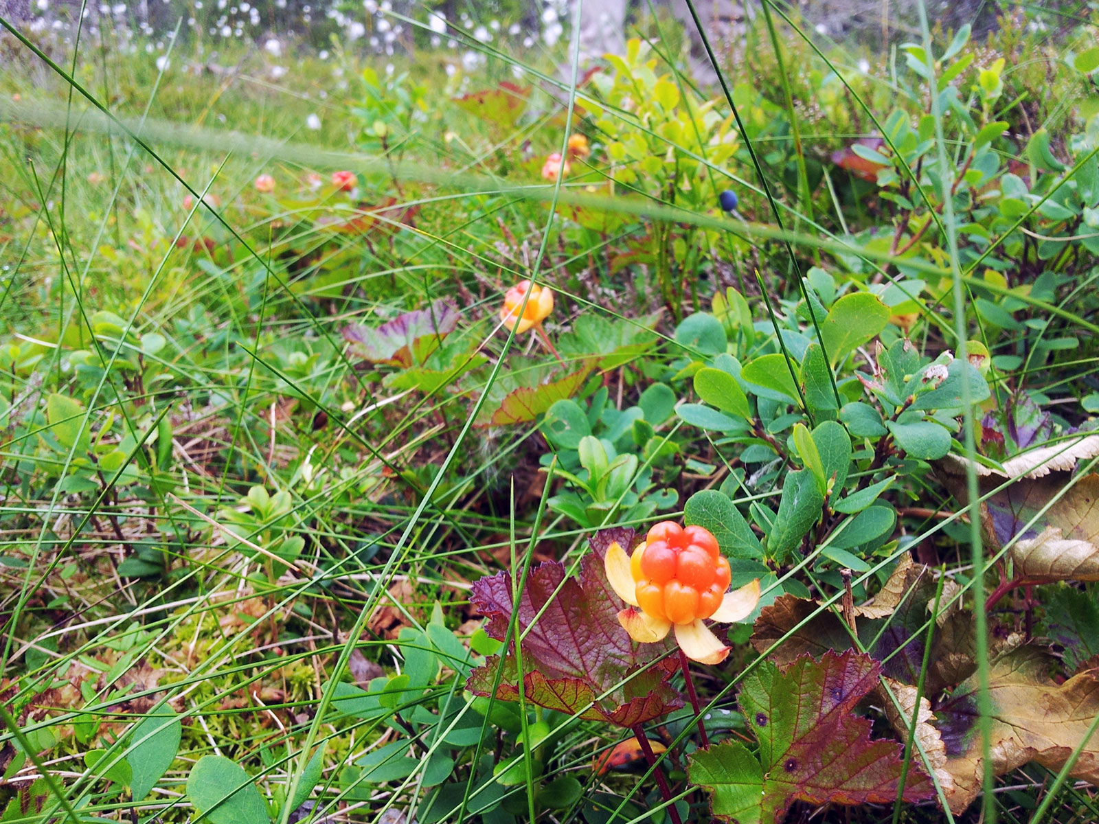 Imaginary Karin - cloudberries
