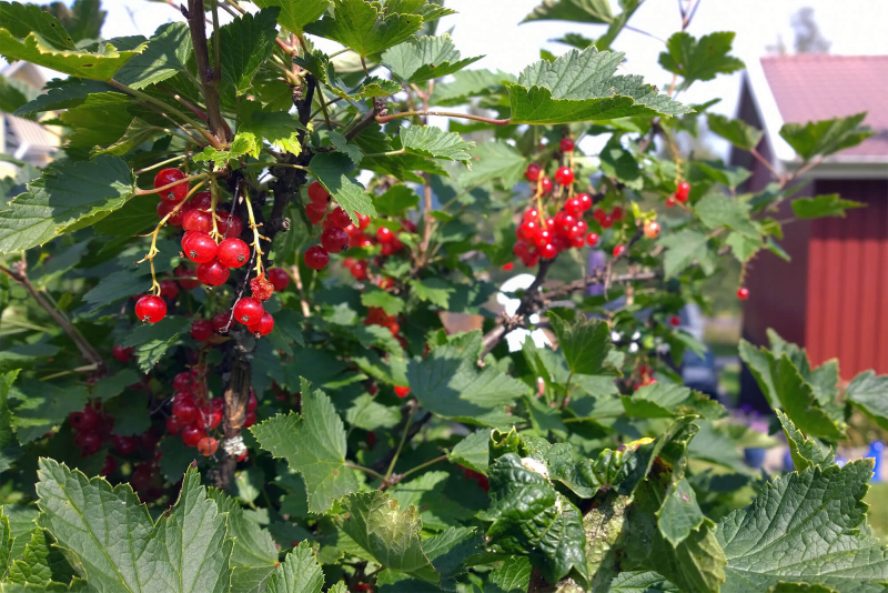Red currant bush with berries