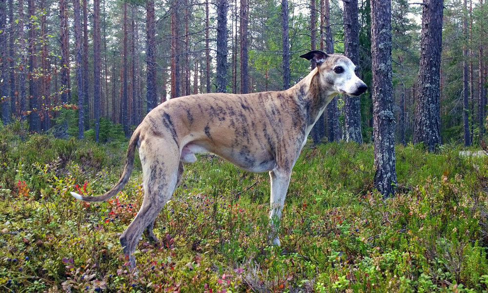 Brindled whippet standing in evergreen forest